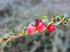 frosty-sunny-cotoneaster