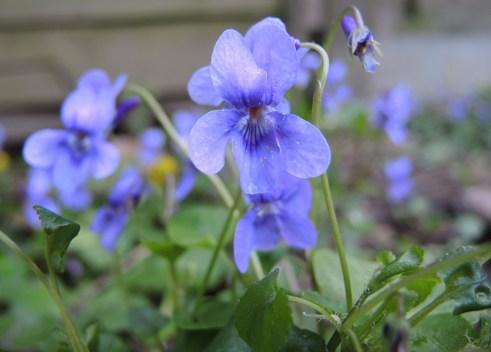 frosty-violet-2