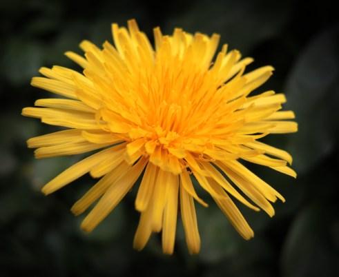 Photo of dandelion flower