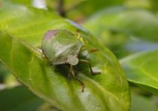photo of green shield bug