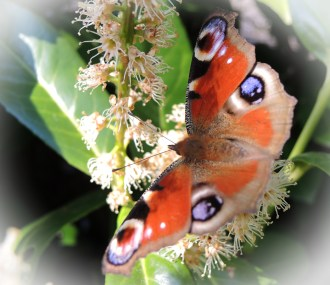 photo of peacock butterfly