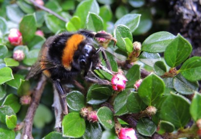 bumblebee-coton-5