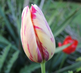 red-n-yellow-tulip