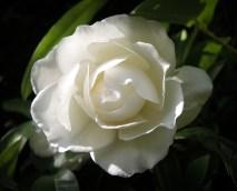 white-rose-1
