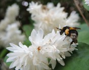 bee-white-blossom-4