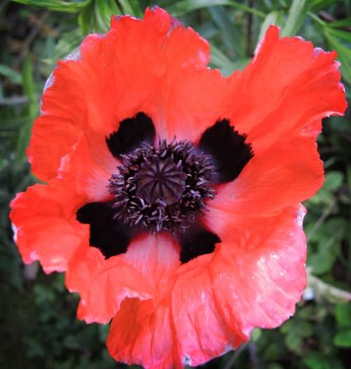 poppy-4