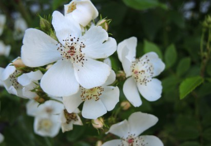 rambling-rose-3