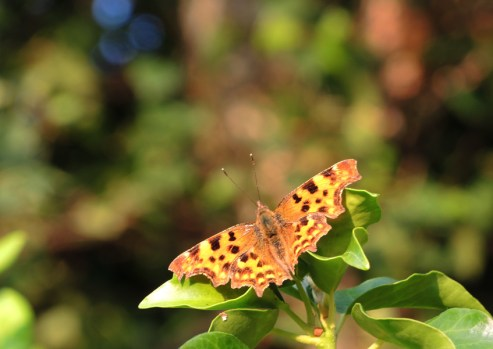Photo of comma butterfly