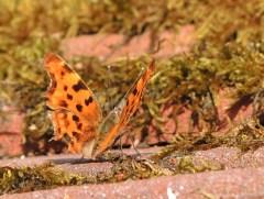 comma-butterfly-1