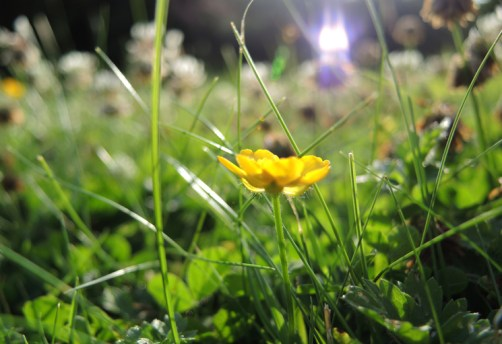 Photo of buttercup on lawn