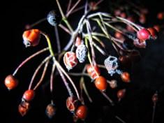 frosty-berries-night