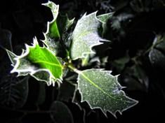 frosty-holly-night