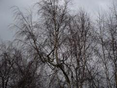 Photo of birch trees winter