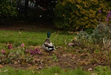 wye-ducks-1