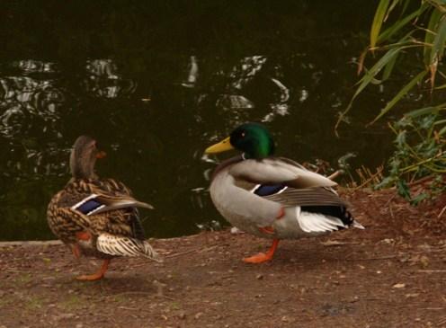 wye-ducks-4