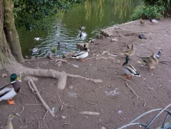 wye-ducks-6