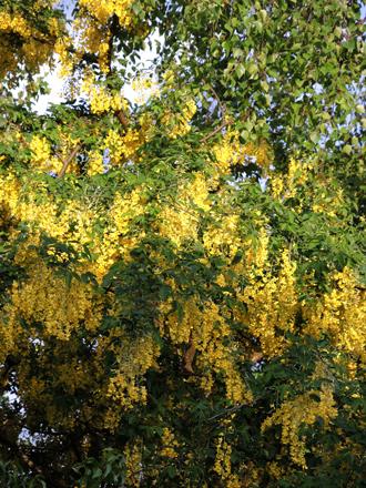 laburnum-tree-2