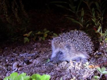Photo of baby hedgehog