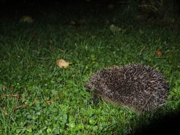 hedgehog-appletree-1