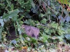 hedgehog-DSCN2412