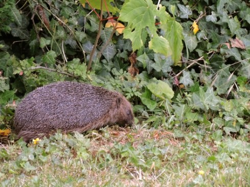 hedgehog-DSCN2421