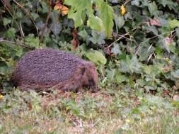 Photo of hedgehog