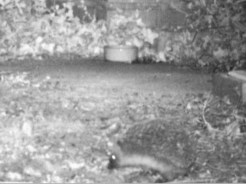 IMAG0029-hedgehog