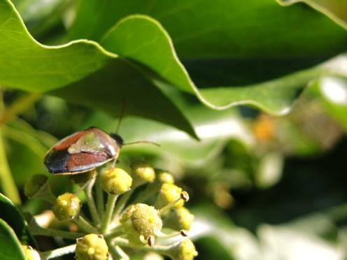 shield-bug-4-ivy-270915