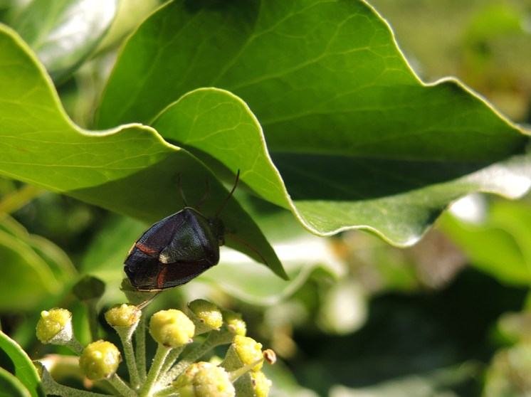 shield-bug-5-ivy-270915