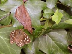speckled-wood-2015