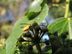 wasp-ivy-270915