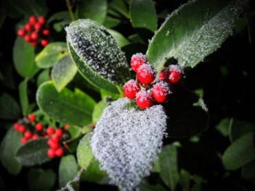 frosty-berries-200116