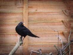 blackbird-250216-b