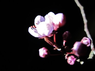 Photo of cherry plum blossom by torchlight