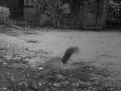 IMAG0063-squirrel-magpie