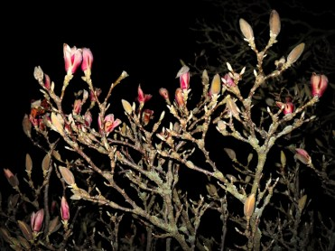 Photo of magnolia buds at night