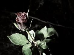 rose-DSCN3560-antique