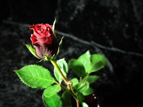 rose-DSCN3560