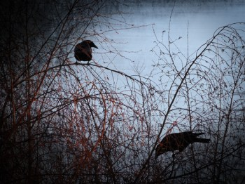 Photo of crows in tree with grungy texture