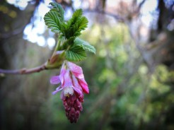 Photograph of Flowering Currant