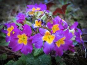 primroses-m-day-1