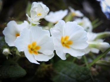 primroses-m-day-3