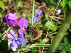 Photo of bee-fly