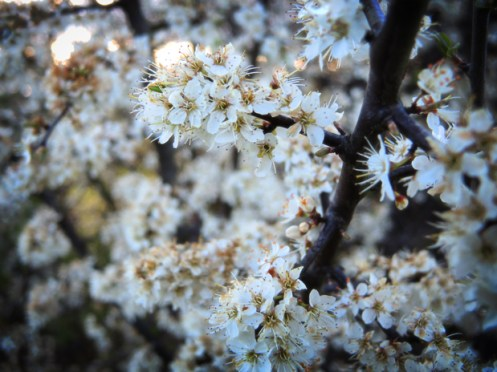 Photo of blackthorn flowers