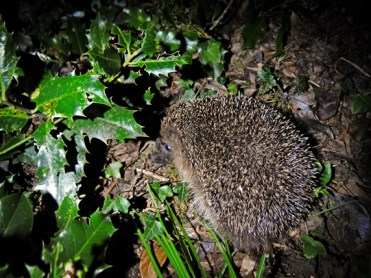 Photos of hedgehogs