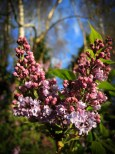 Photo of lilac buds forming flowers