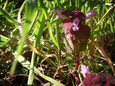 red-dead-nettle-2