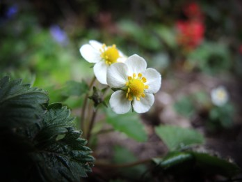 Photo of wild strawberry flowers
