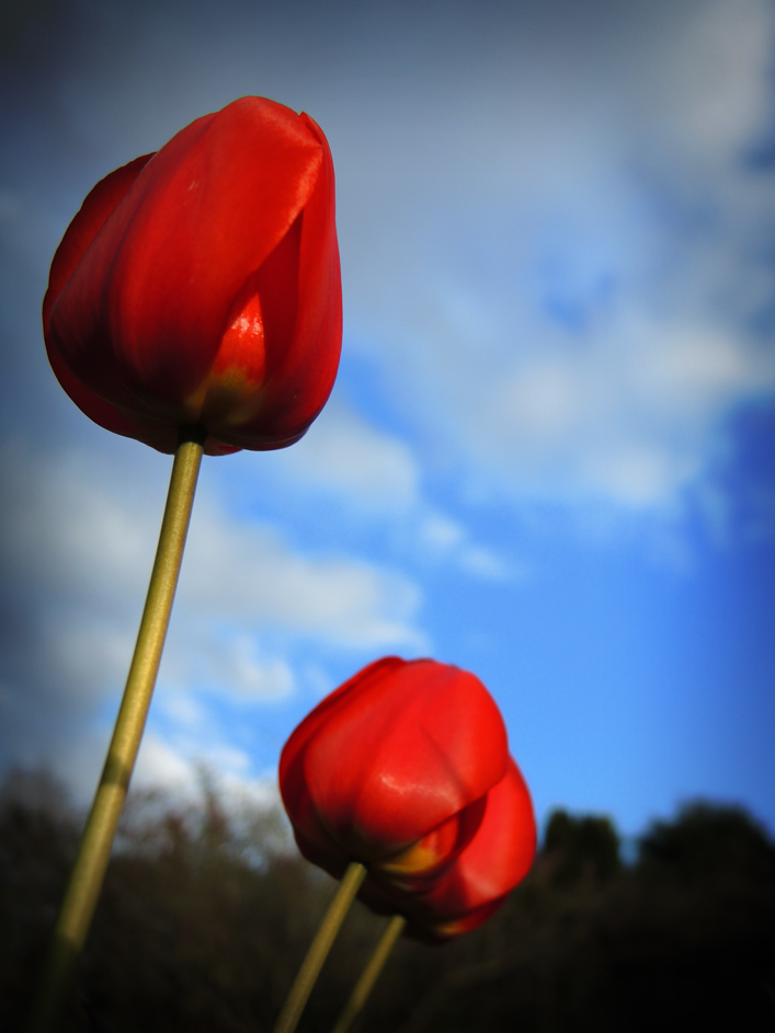 Photo of red tulips