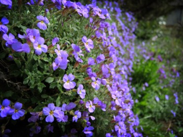 Photo of aubrieta flowers